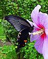 Papilio protenor-クロアゲハ-in Tokyo-2014.JPG