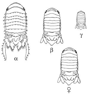 <i>Paracerceis sculpta</i> Species of crustacean