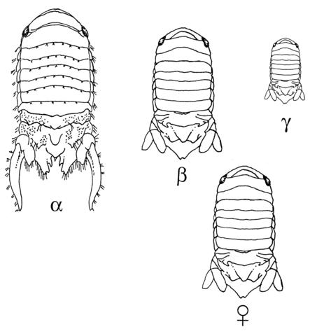 """Paracerceis sculpta. Hos den här arten finns det tre typer av hanar, α-, β- och γ-typen. α-typen är den dominanta typen, som håller harem. β- och γ-typen är """"sneaky fuckers"""" som liknar honor (♀) eller ungar, fastän de inte alls är det."""