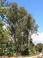 Parc Olbius Riquier - Eucalyptus camaldulensis.jpg