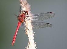 Parc du Marquenterre, Trithemis annulata, Red Dragonfly, pic-013.JPG