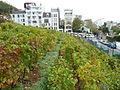 Paris Les vignes de Montmartre au Musée Montmartre (4).JPG