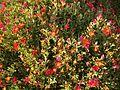 Parterre de fleurs Darss.jpg