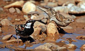 Passer predomesticus - A male and female Spanish sparrow in southeastern Turkey