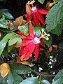 Passiflora vitifolia (2).JPG