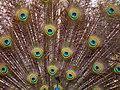 Pavo (genus) طاووس هندی 04.jpg