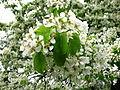Pear blossom (Pyrus) 01.JPG