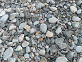 Pebbles on Clovelly beach - geograph.org.uk - 1611775.jpg