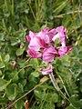 Pedicularis cenisia02.jpg