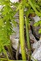Pedicularis julica 08.jpg