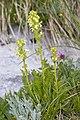 Pedicularis julica 25.jpg
