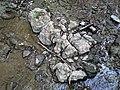 Pedogenic breccia (Conemaugh Group, Upper Pennsylvanian; creek cut on the western side of Caldwell, Ohio, USA) 20.jpg