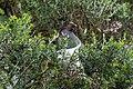 Peeking above the bushes (34780286812).jpg