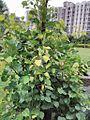 Peepal tree image1.jpg