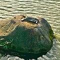 Pelodiscus sinensis on the rock in Ochiai park - 1.jpg