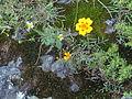 Pequeña flor amarilla 03.JPG