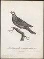 Peristera larvata - 1796-1808 - Print - Iconographia Zoologica - Special Collections University of Amsterdam - UBA01 IZ15600239.tif
