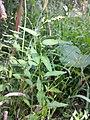 Persicaria hydropiper sl1.jpg