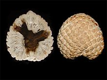 Two images of a round conifer cone, the left one is in cross-section