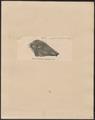 Phacochoerus africanus - 1700-1880 - Print - Iconographia Zoologica - Special Collections University of Amsterdam - UBA01 IZ21900243.tif