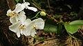 Phalaenopsis sp Cagar Alam Tangkoko.jpg