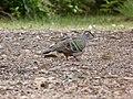 Phaps chalcoptera -Merimbula, New South Wales, Australia-8.jpg
