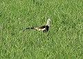 Pheasant-tailed Jacana, Basai Wetland, Gurugram, India.jpg