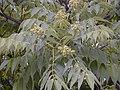 Phellodendron amurense 2.jpg