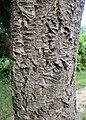Phellodendron amurense kz01.jpg