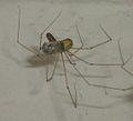 Pholcus phalangioides eating wasp 0.jpg