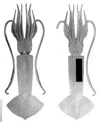 Pholidoteuthis massyae.jpg