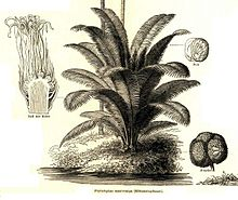 Phytelephas macrocarpa Industriepflanzen Meyer 1888.jpg