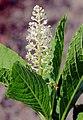 Phytolacca esculenta Prague 2011 2.jpg