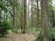Picea sitchensis forest.jpg