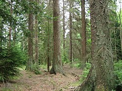 Sitka Spruce 50-55 m tall in a forestry plantation in Britain