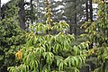 Picea smithiana top of young tree.jpg