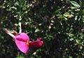 Pickeringia montana m.jpg