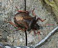 Picromerus bidens (Spiked shieldbug) - Flickr - S. Rae.jpg