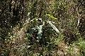 Pig Hill Kinabalu N. rajah site two.jpg