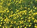 PikiWiki Israel 12139 Blooming chrysanthemums.JPG