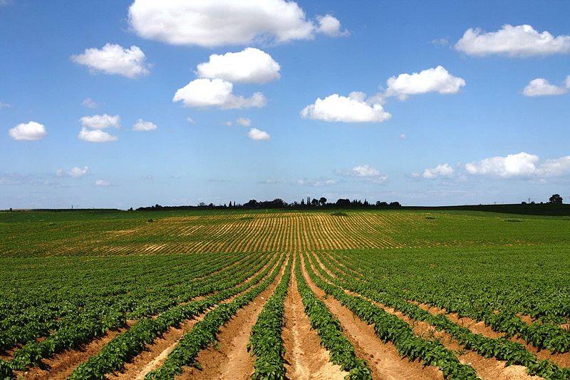 שטח תפוחי אדמה