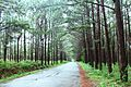 Pine forest in Don Duong, Lam Dong, Vietnam.jpg