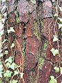 Pine tree bark at Fallon Park in Raleigh, North Carolina.jpg