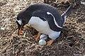 Pingüino Gentoo en Islas Malvinas.jpg