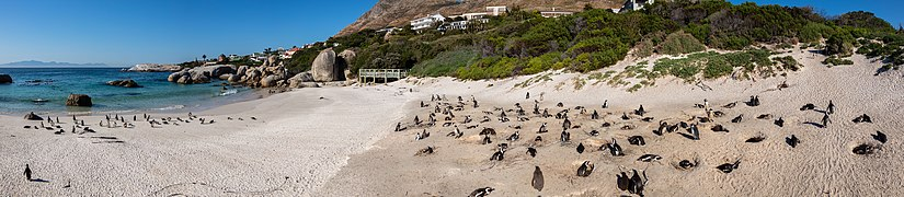 Pingüinos de El Cabo (Spheniscus demersus), Playa de Boulders, Simon's Town, Sudáfrica, 2018-07-23 PAN 21-27.jpg
