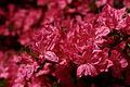Pink-red-azalea - West Virginia - ForestWander.jpg