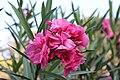 Pink Flower. Alex 001.JPG