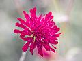 Pink flower (9524940843).jpg