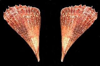 <i>Pinna carnea</i> species of mollusc