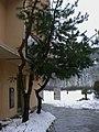 Pinus164111.JPG